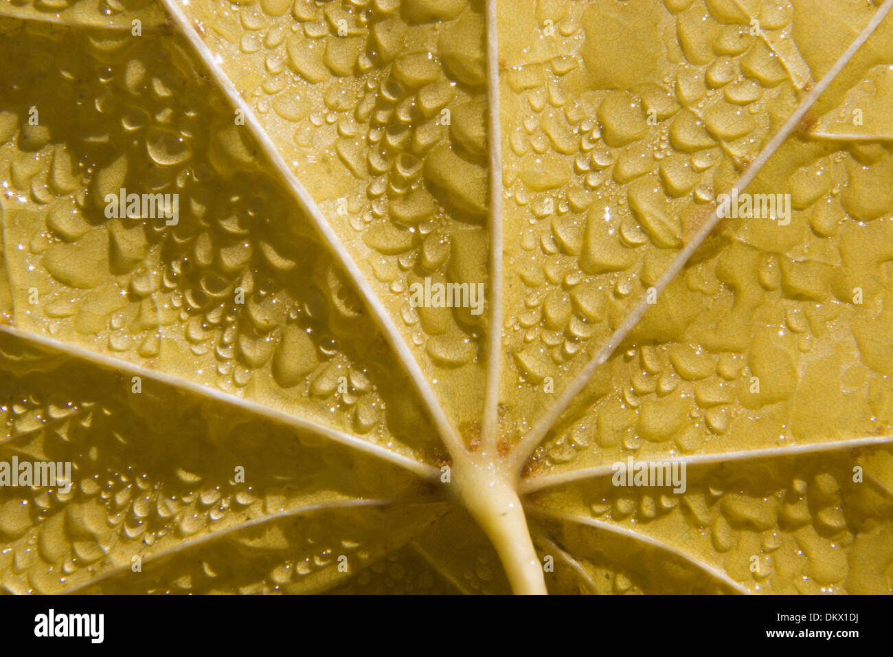 detail of maple leaf in the moisture - Stock Image