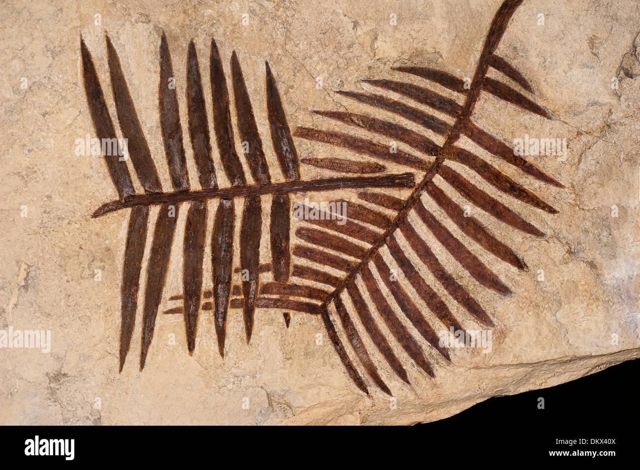 Zamites feneonis, Cycadophytes, Bennettitales, Mesozoic Age, Upper Giurassic, South France - Stock Image