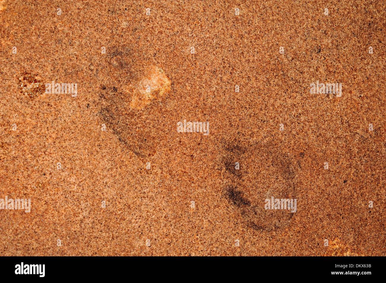 Fossil tracks of mammal-like reptile theterop Laoporus sp., Paleozoic Age, Upper Permian, Cocconino, Arizona, Usa - Stock Image
