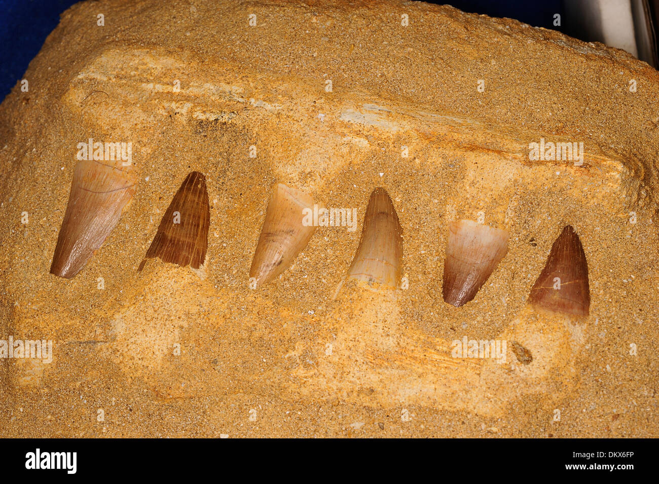 Fossil teeth of Mesosaurus sp., extinct genus of reptile from the Early Permian of southern Africa and South America. - Stock Image