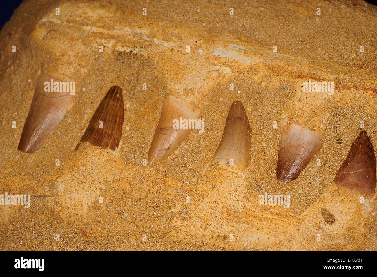 Fossil teeth of Mesosaurus sp., an extinct genus of reptile from the Early Permian of southern Africa and South America. - Stock Image
