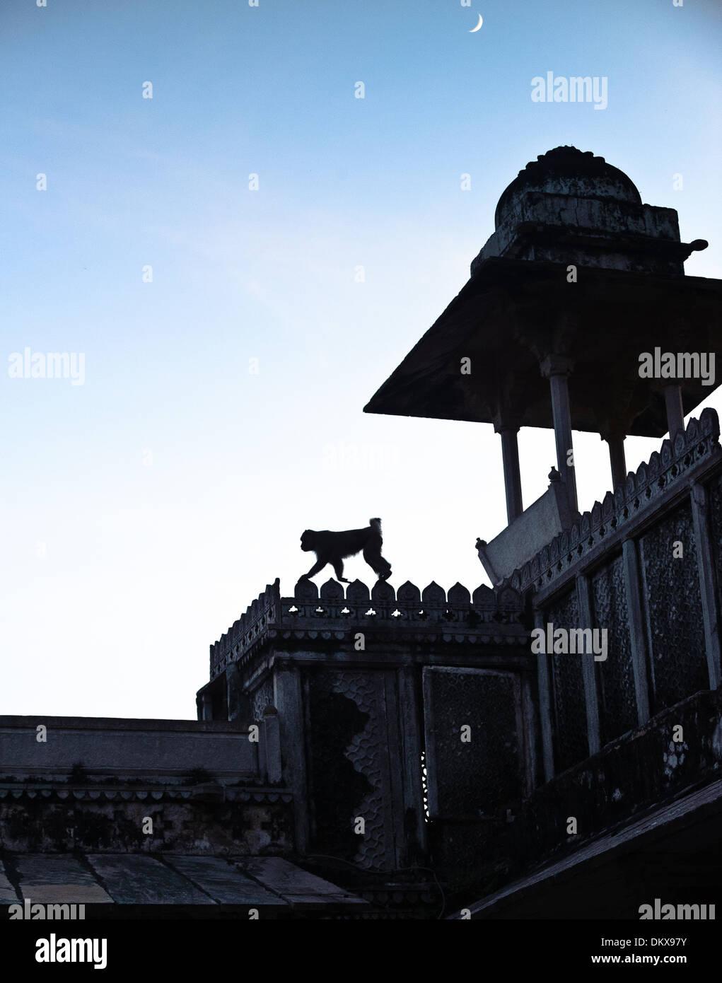 Monkey at moonrise, Bundi Palace, India Rajasthan - Stock Image