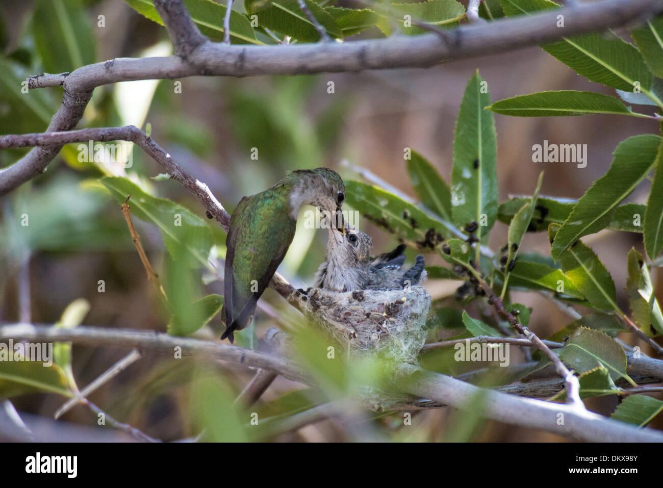 Costa's hummingbirds, nesting, calypte costae, hummingbird, bird, Stock Photo