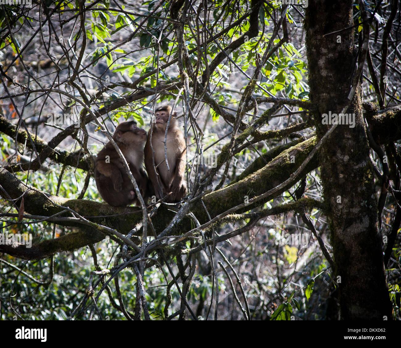 Two monkeys, Bhutan - Stock Image