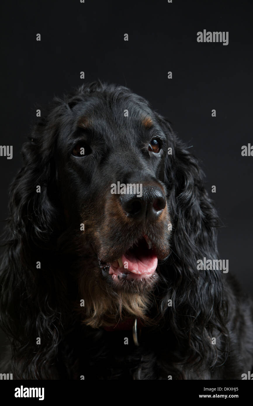 Gordon Setter against a black background - Stock Image