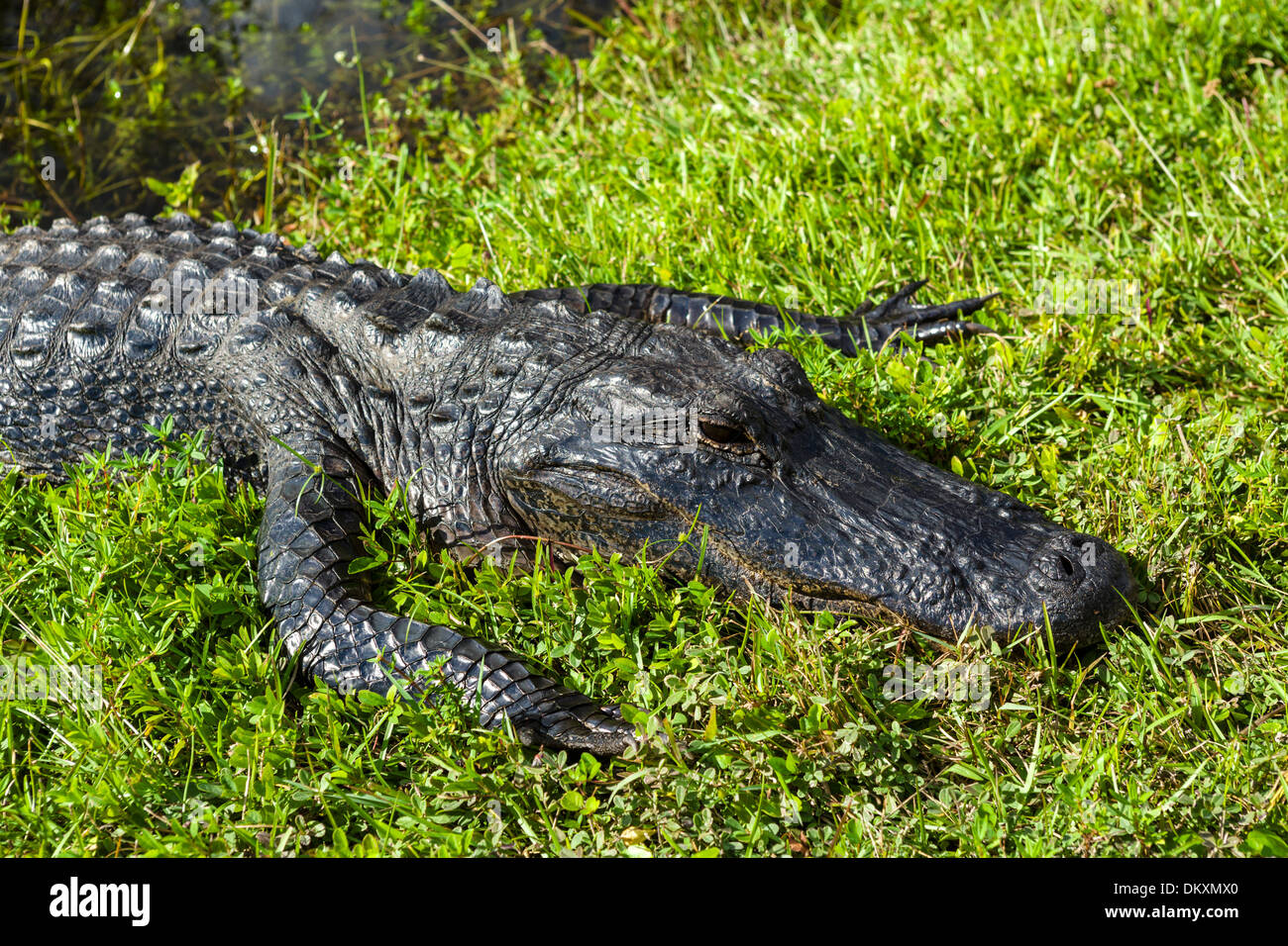 American Alligator (Alligator mississippiensis) on the Shark Valley loop road, Everglades National Park, Southern Florida, USA - Stock Image