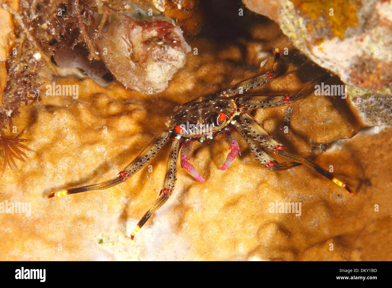 Flat Rock Crab, Percnon planissimum. Tulamben, Bali, Indonesia. Bali Sea, Indian Ocean - Stock Image