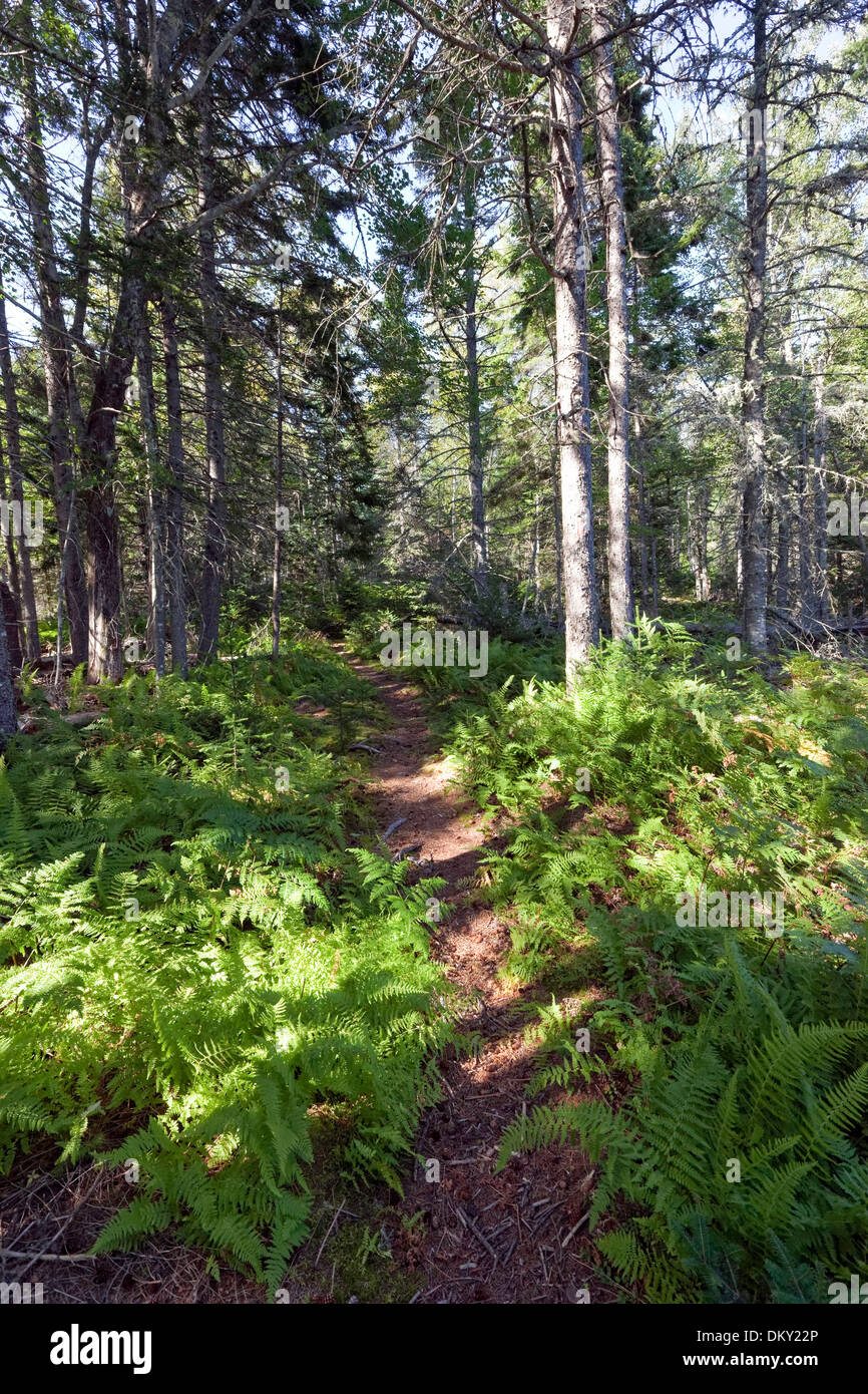 Fern lined trail, North Perry Creek Preserve, Vinalhaven, Maine - Stock Image