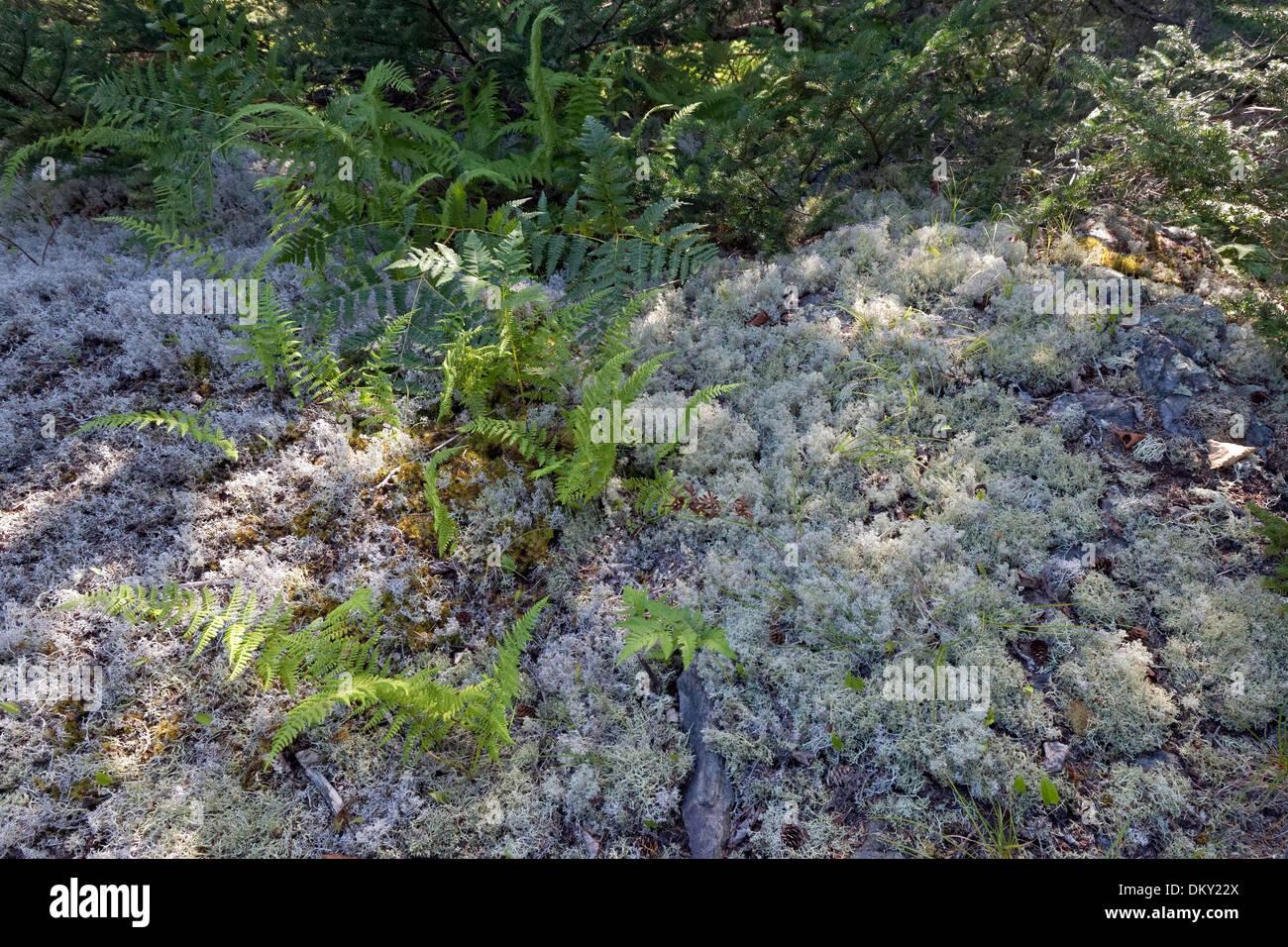 Ferns and Reindeer Lichen (Cladonia rangiferina) - Stock Image
