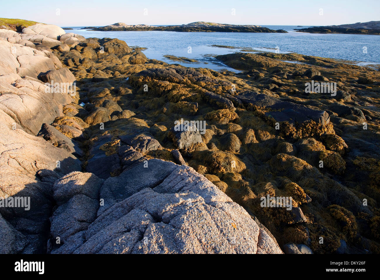 Rockweed on ledge exposed at low tide, Eastern Maine - Stock Image