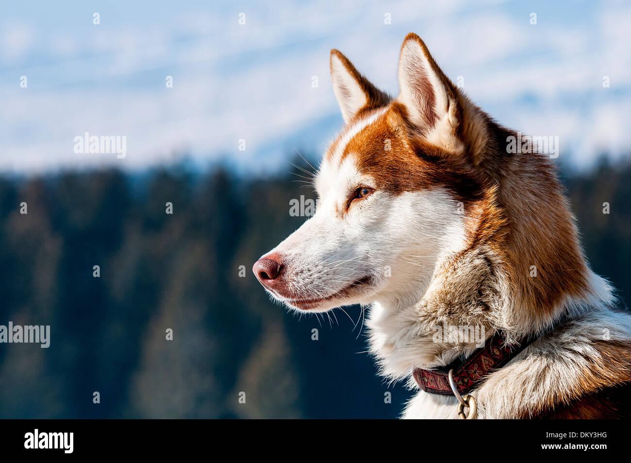 Portrait of Siberian Huskty dog in winter - Stock Image