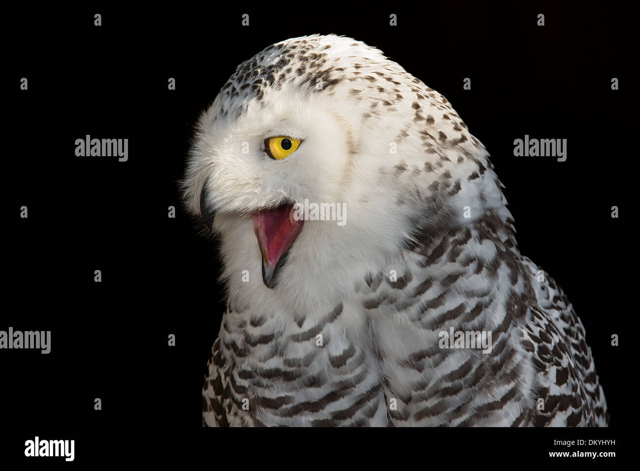 Screeching Owl Stock Photos & Screeching Owl Stock Images