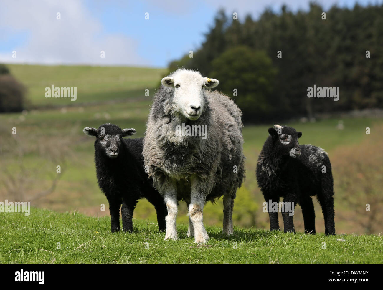 Herwick Ewe with her twin lambs born in the North Yorkshire - Stock Image