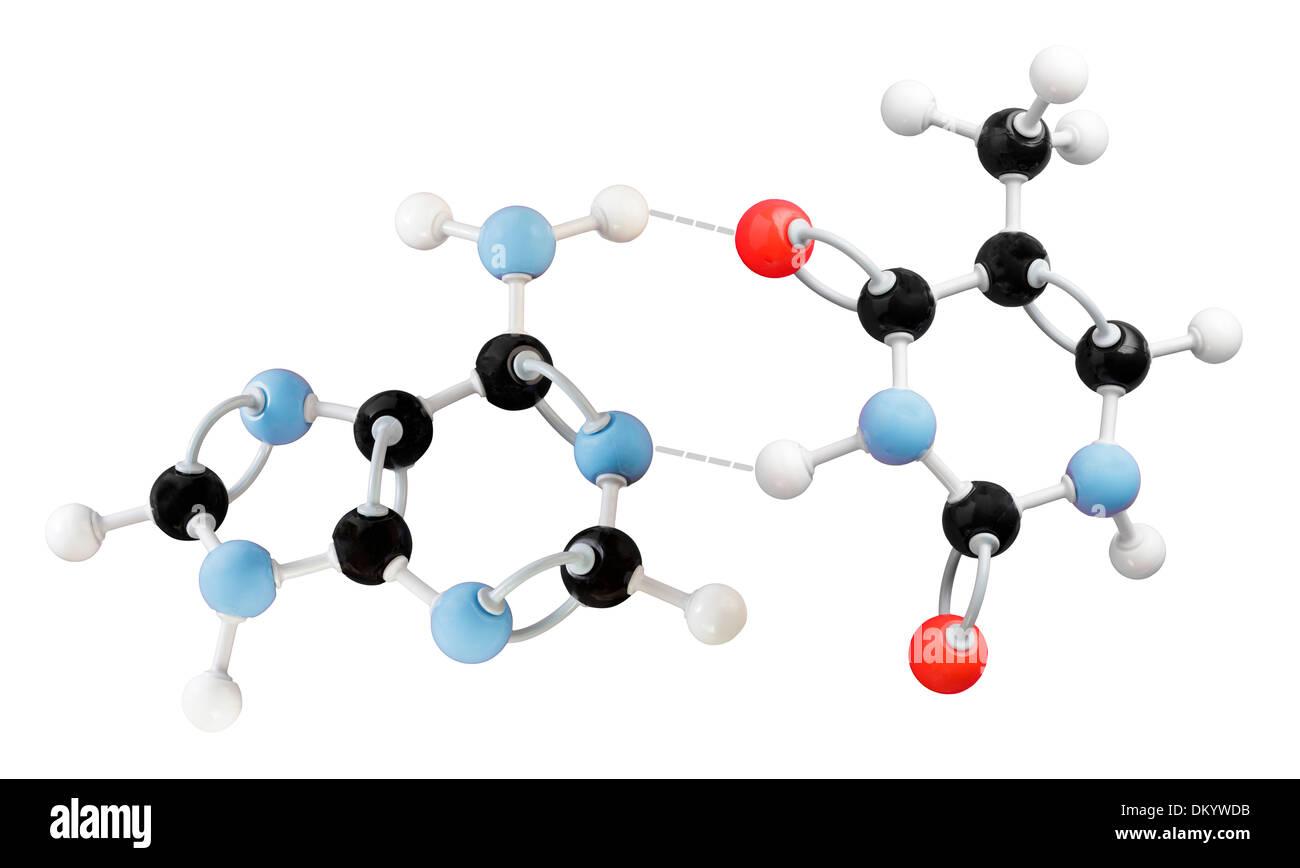 molecule model showing Thymine-adenine interaction - Stock Image