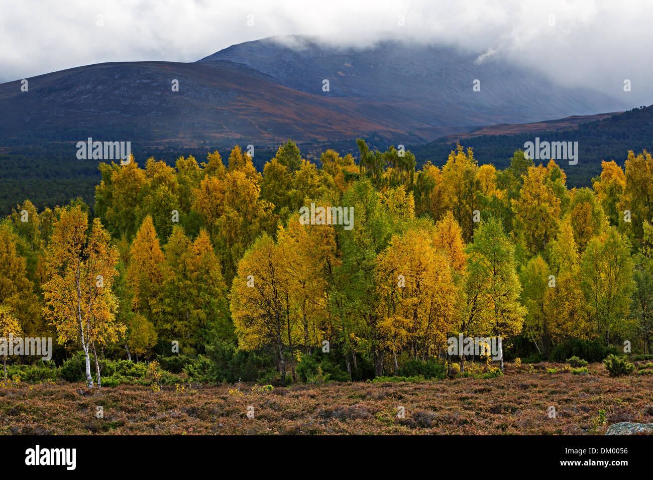 Rothiemurchus Forest in autumn, Cairngorms, Scottish Highlands - Stock Image