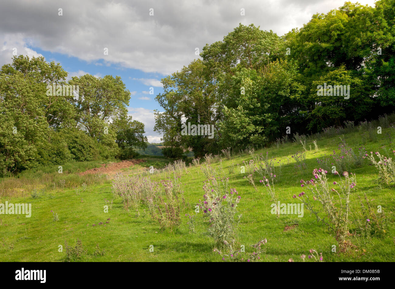 English countryside with oak trees and thistles, Gloucestershire, England. - Stock Image