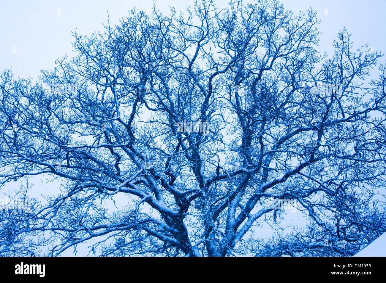 Tree Snow covered branches Ek Oak Quercus robur Winter - Stock Image