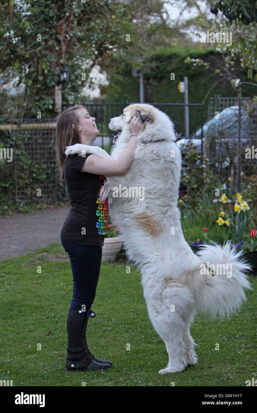 Pyrenean Mountain Dog Standing On It S Hind Legs Against A