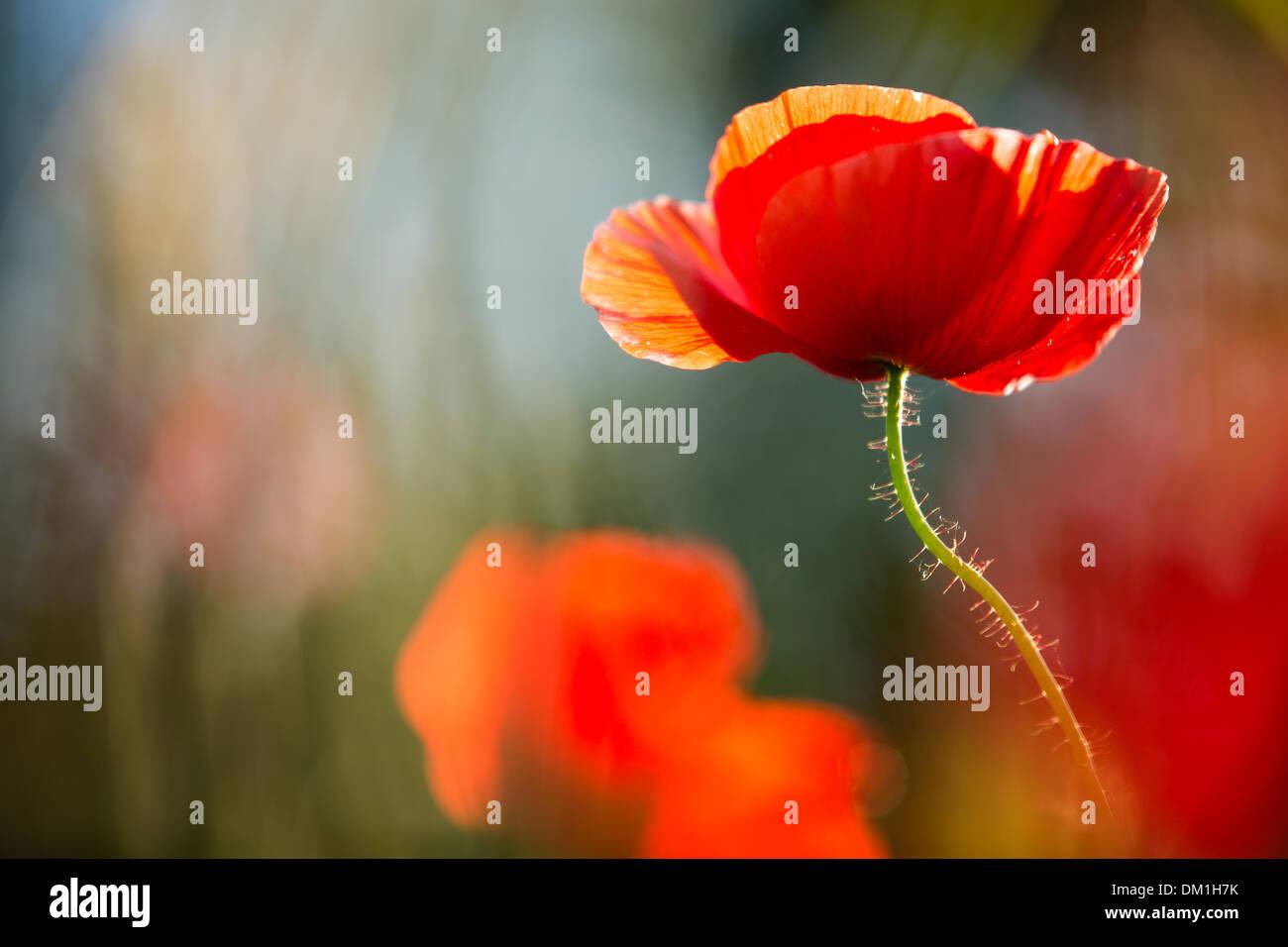poppies in a field near Campi, Valnerina, Umbria, Italy - Stock Image