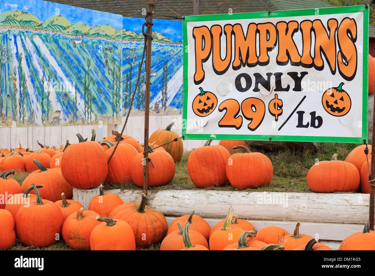 Pumpkin Farm near Davenport,Santa Cruz County,California,USA - Stock Image