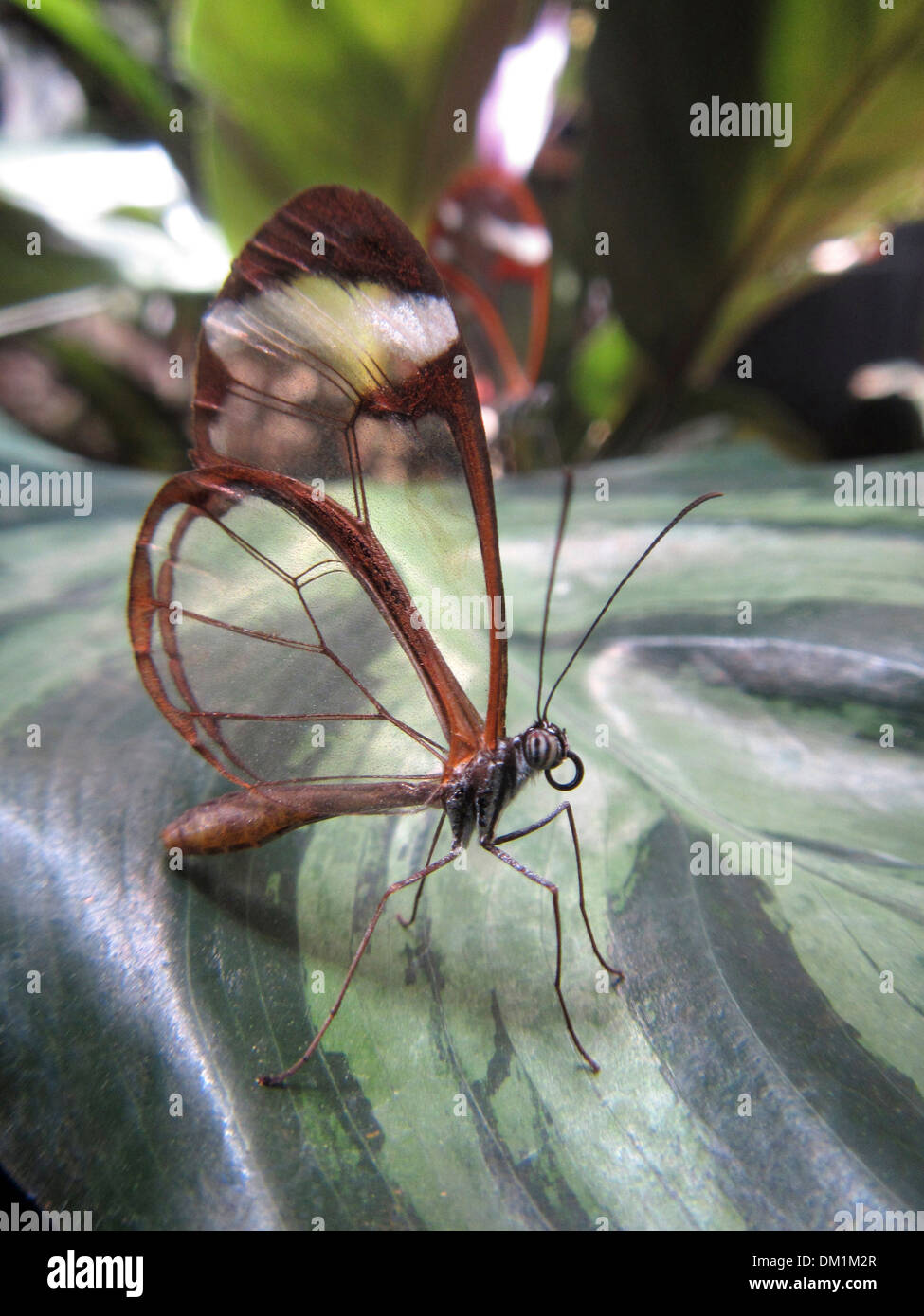 Glasswing Butterfly. The Glasswinged butterfly is a brush-footed butterfly, and is a member of the subfamily Danainae. - Stock Image