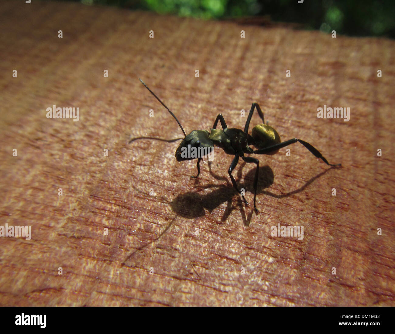 Golden Ant in Costa Rica Camponotus sericeiventris. Golden Carpenter ants, one of the most recognizable ants in Central America - Stock Image