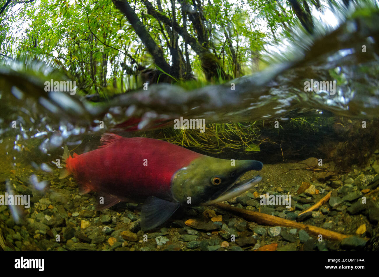 a red male sockeye salmon Oncorhynchus nerka in an alaska river showing the change in body and color during breeding times - Stock Image