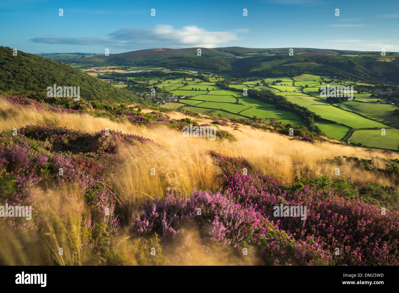 coastal heath (common heather bell heather and western gorse) on Bossington Hill in late summer Dunkery Beacon beyond - Stock Image