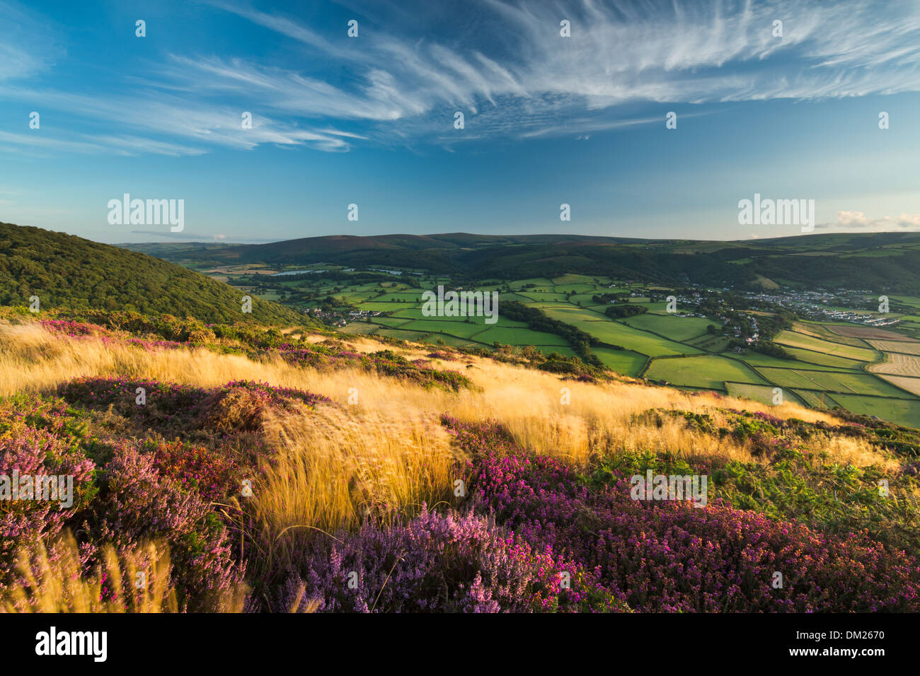 coastal heath (common heather bell heather and western gorse) on Bossington Hill in late summer Dunkery Beacon beyond Exmoor - Stock Image
