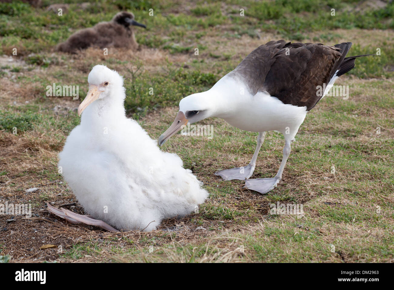 Laysan Albatross (Phoebastria immutabilis) adult appearing curious about a white leucistic chick lacking normal pigmentation - Stock Image