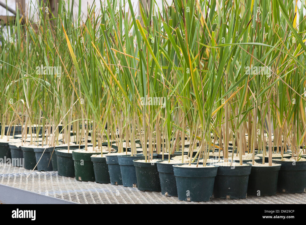 Bunch Grass (Eragrostis variabilis) plantings growing in a greenhouse for a USFWS habitat restoration project. - Stock Image