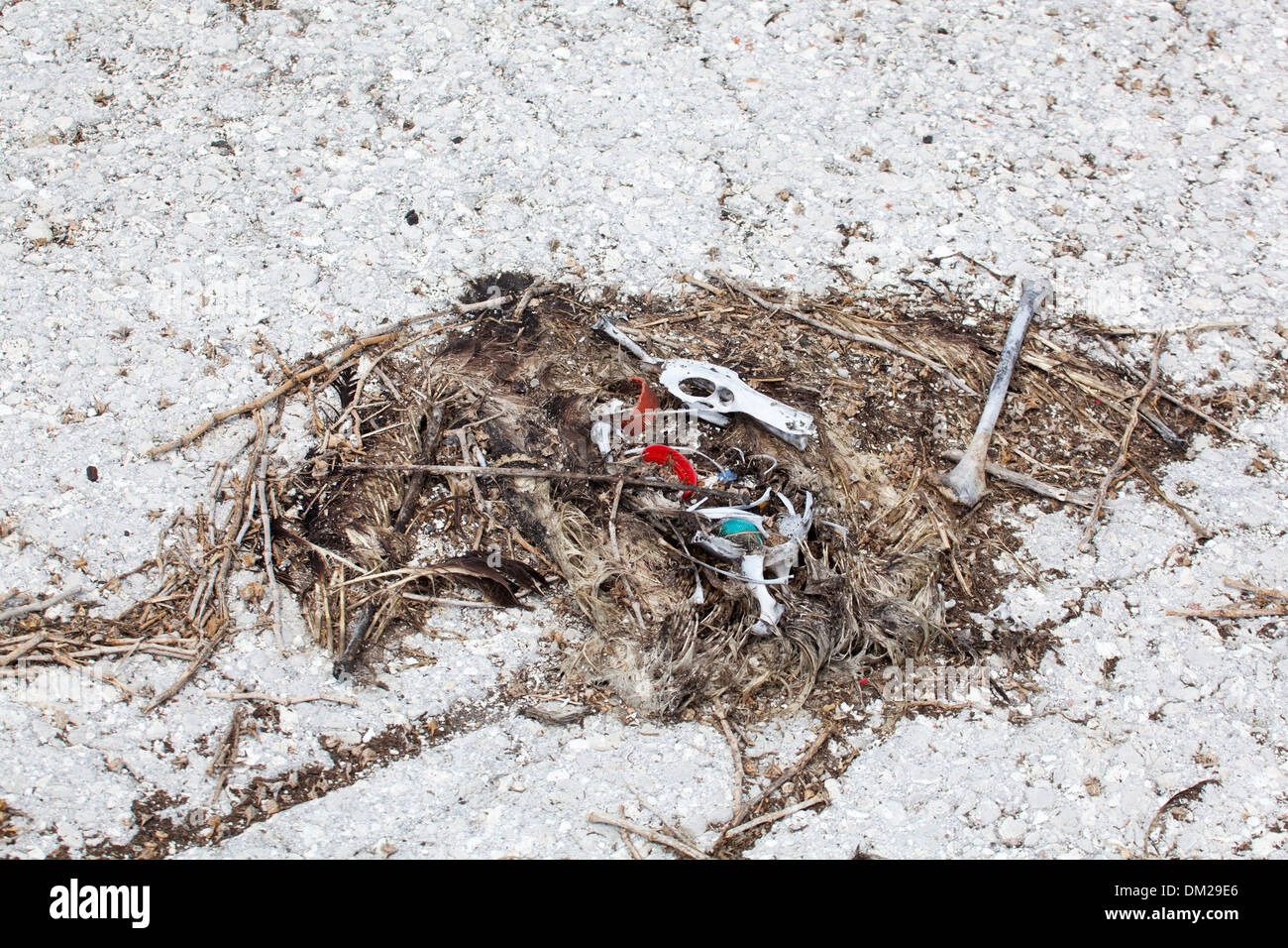 Remains of dead albatross with bottle caps and other plastic marine debris which were ingested by the bird. - Stock Image