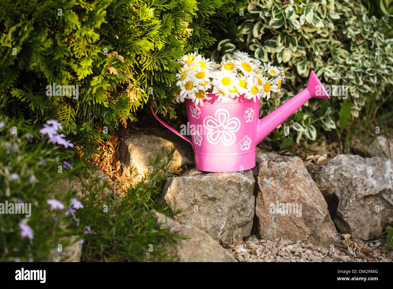 Daisies in a rustic watering can on rock garden - Stock Image