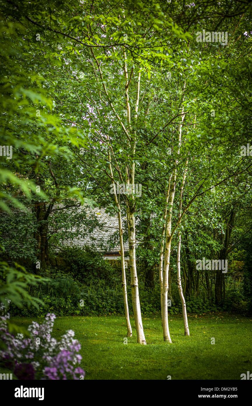 Six silver birch trees in small woodland garden in Cumbria UK ADA J1294 - Stock Image