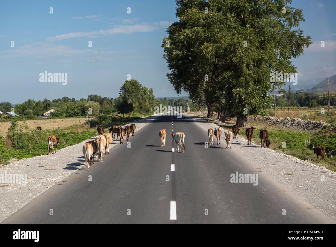 Azerbaijan, Caucasus, Eurasia, Balakan, Border, cows, road, traffic, street, rural - Stock Image