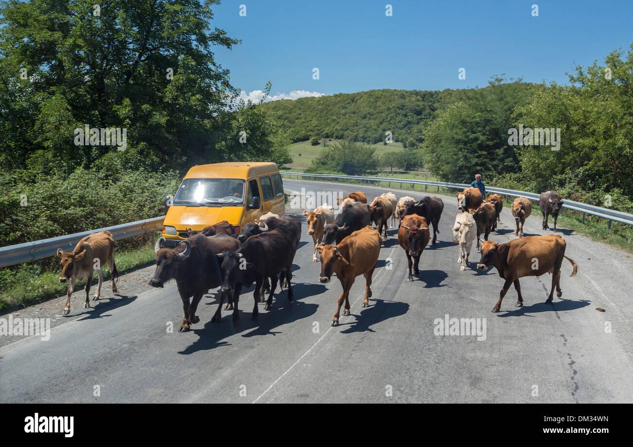 car, country side, Georgia, Caucasus, Eurasia, herd, road, traffic, cows, rural - Stock Image