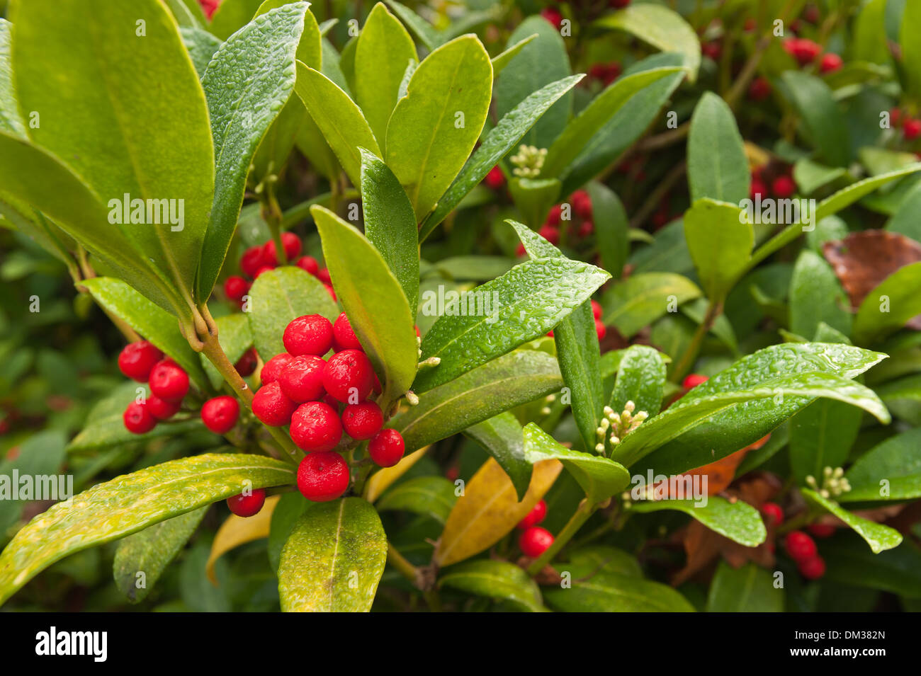 A Winter Wonderland Evergreen Shrub With Glossy Leaves And Red
