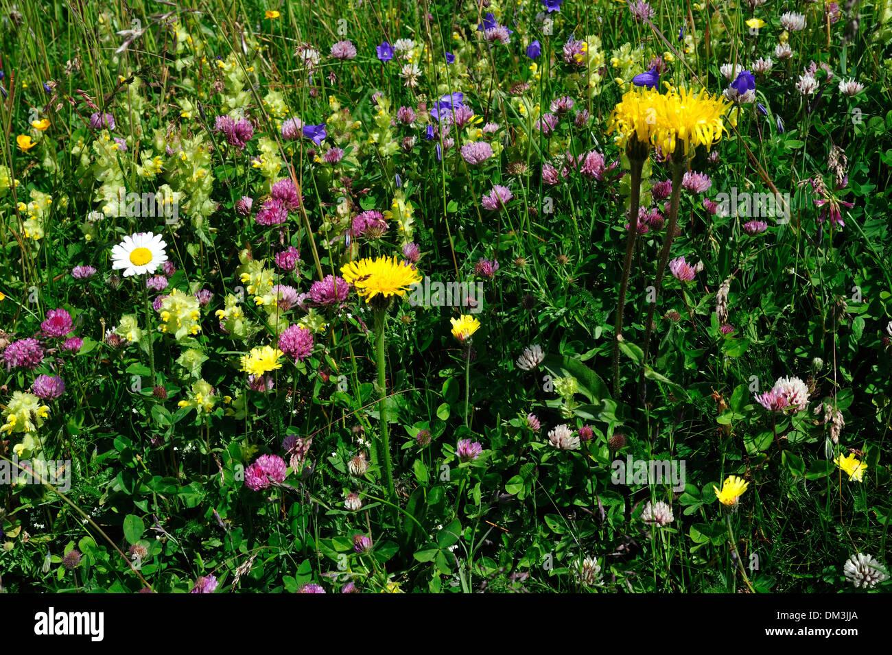 Alpine meadow flower pattern alpine flowers alpine pasture flowers blossoms plants alpine plants Curtginatsch Wergenstein - Stock Image