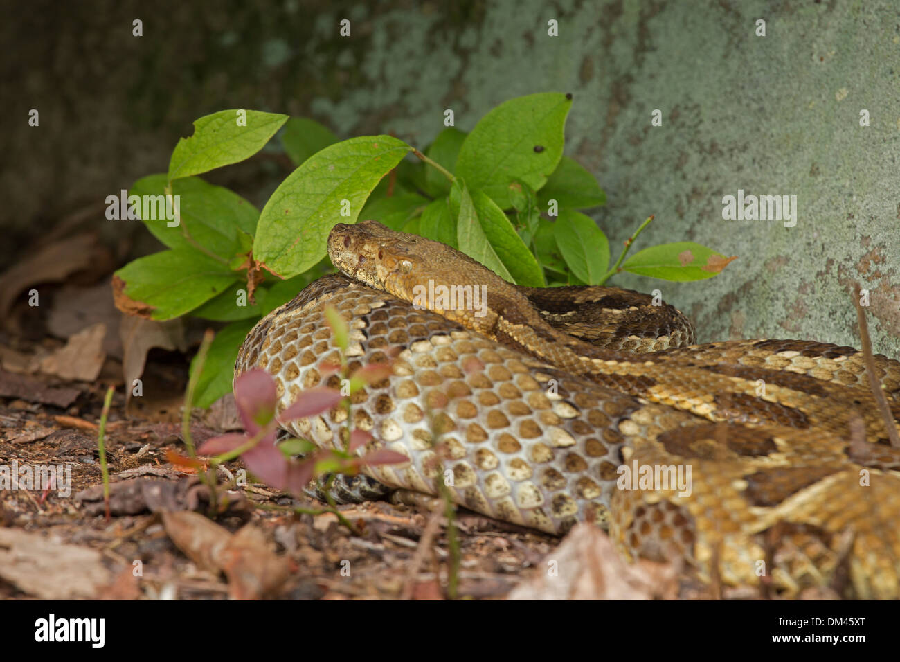 Timber Rattlesnake Crotalus horridus,  Pennsylvania, Gravid females basking, with deformed face two facial pits on one side - Stock Image