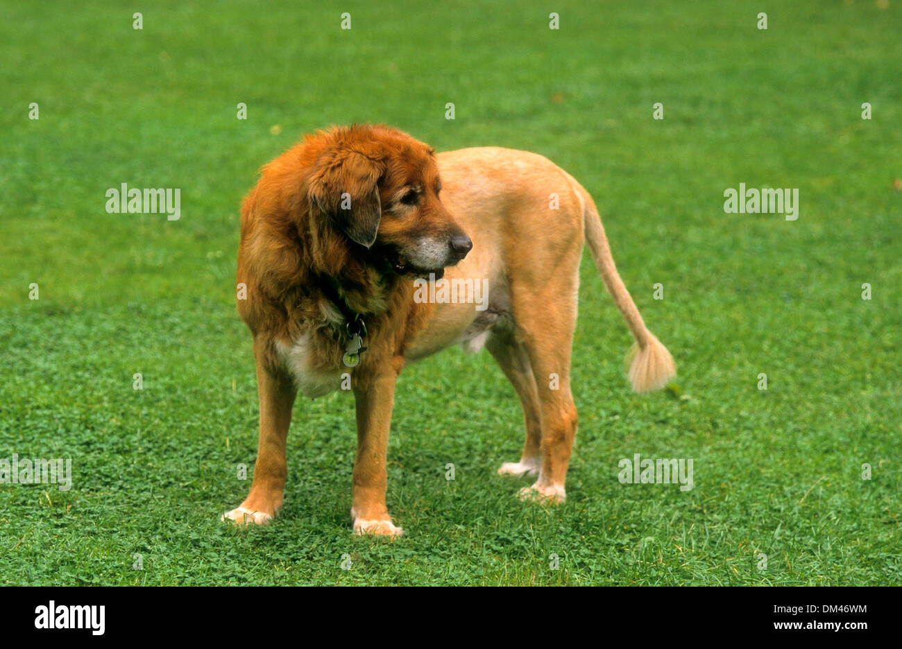 on 'Lion' trimmed dog, auf 'Löwe' getrimmter Hund - Stock Image