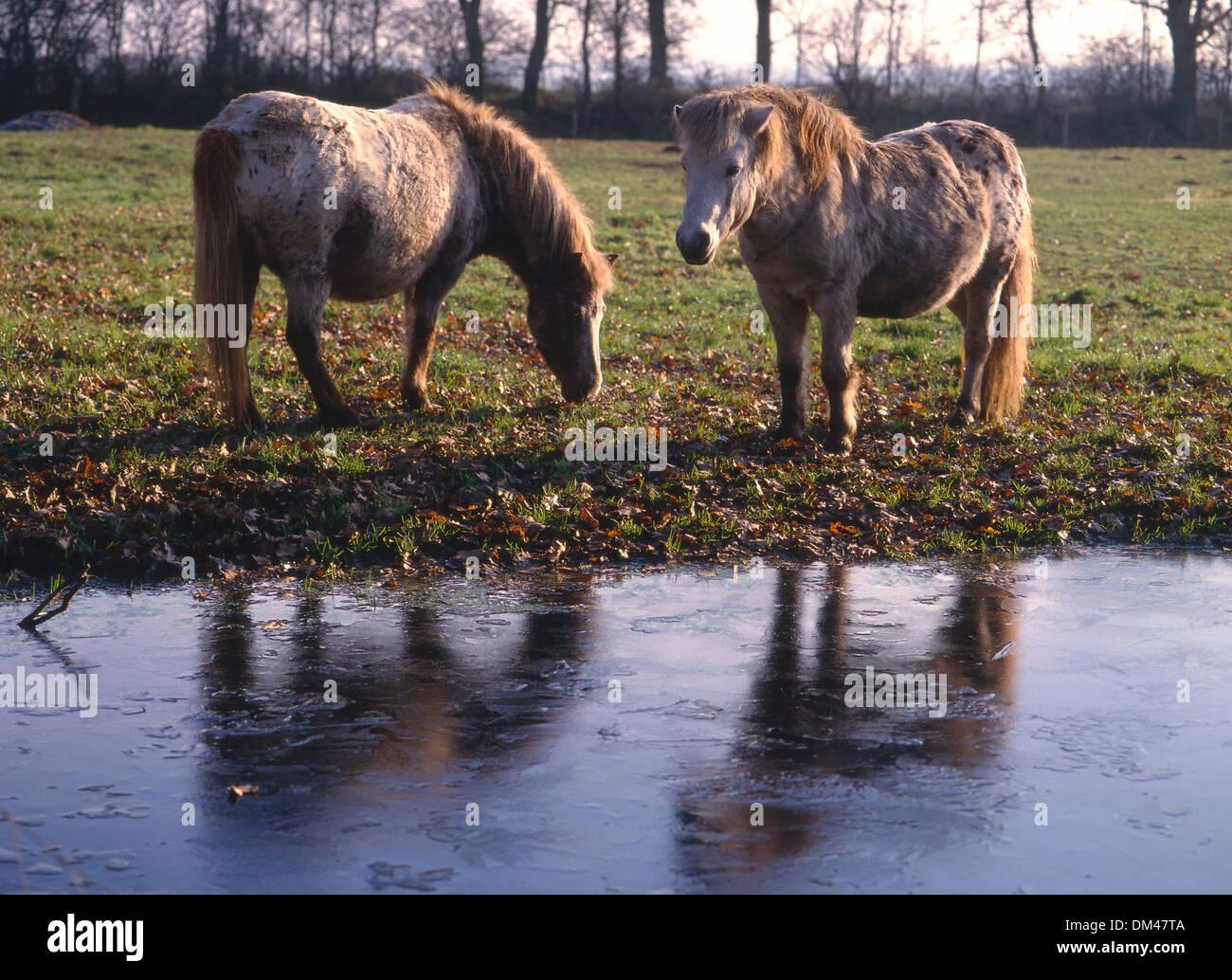 Horses on frozen lake, Pferde am zugefrorenen See - Stock Image
