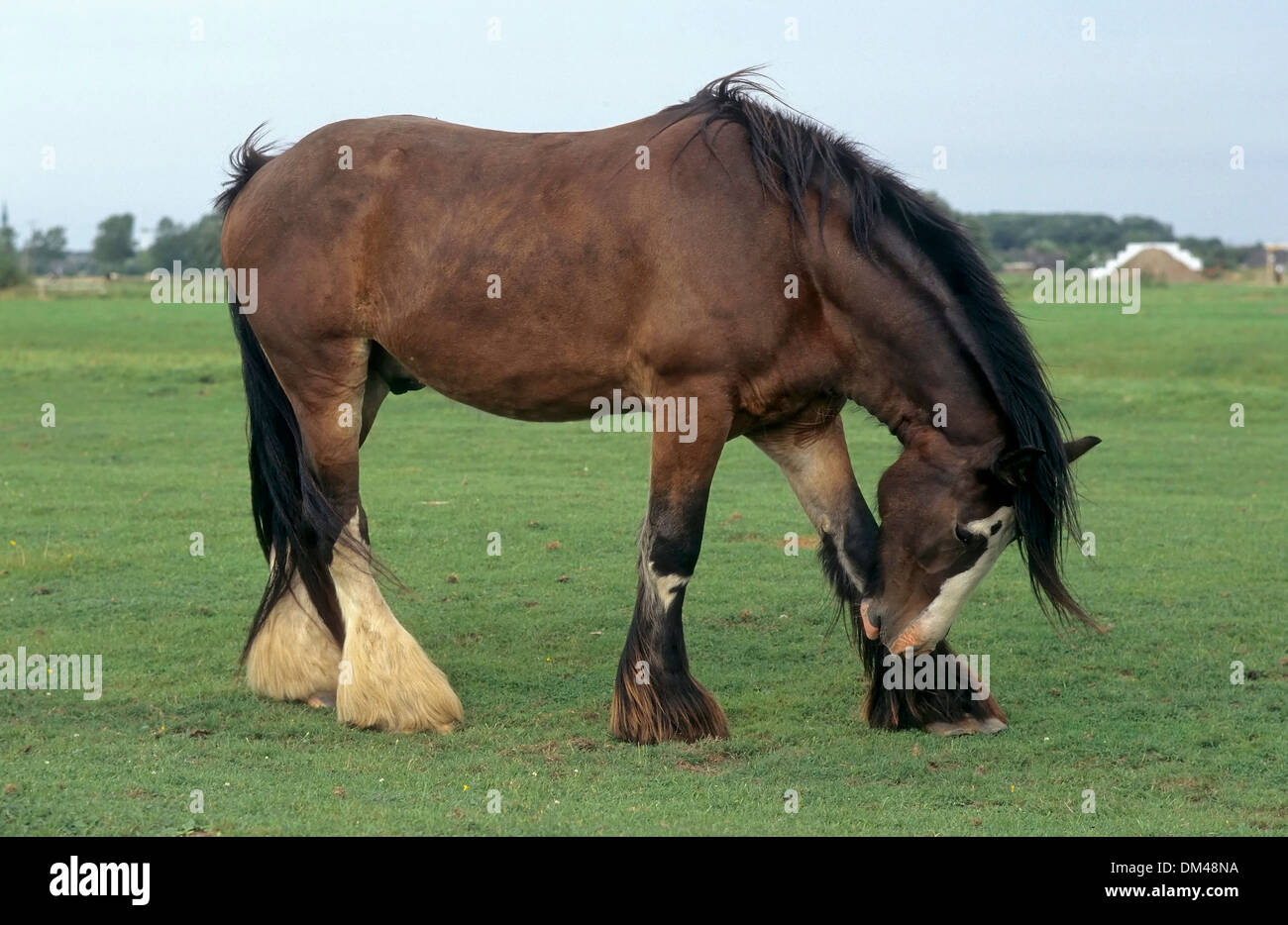 Britisches Kaltblut, Hengst, Shirehorse, Stute mit Fohlen, Shire horse Stock Photo