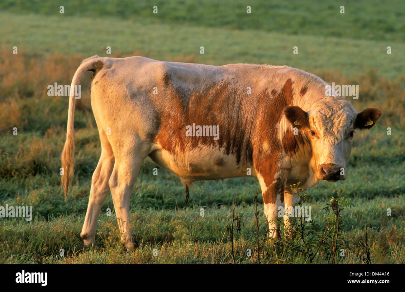 Fell beef, Swedish mountain cow, Fjällko, Fjäll-Rind, Schwedische Bergkuh, Fjällko - Stock Image