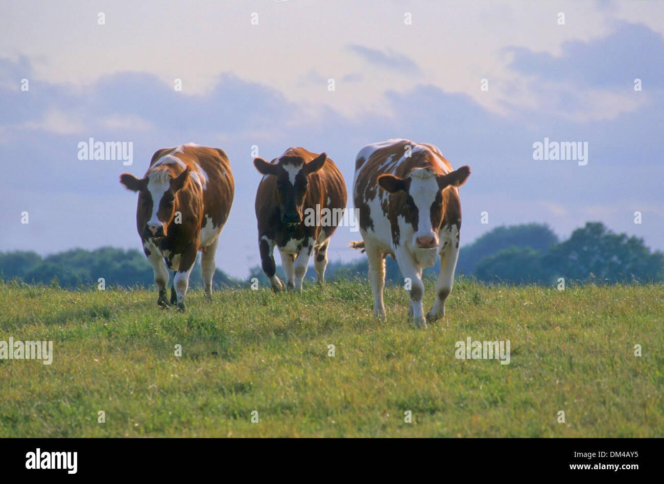 Red-colored lowland beef, Rotbunte Niederungsrinder, Rotbuntes Niederungsrind Stock Photo