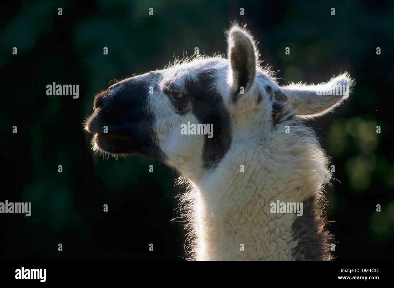 llama (Lama glama), Lama, Porträt, Lama (Lama glama) - Stock Image