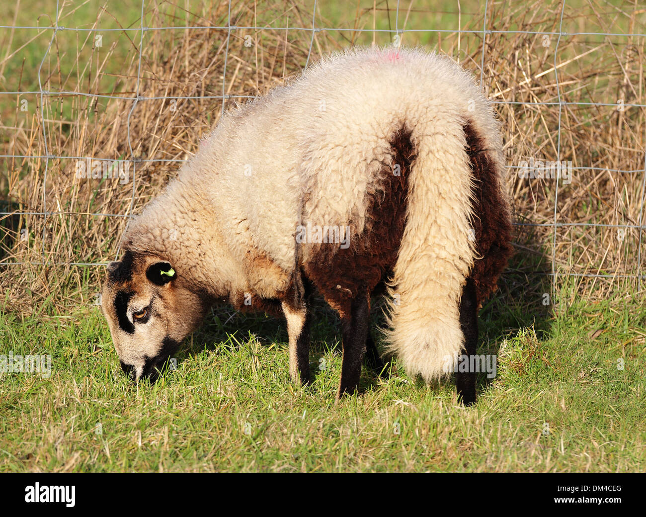 Woolly Sheep in an English Meadow - Stock Image