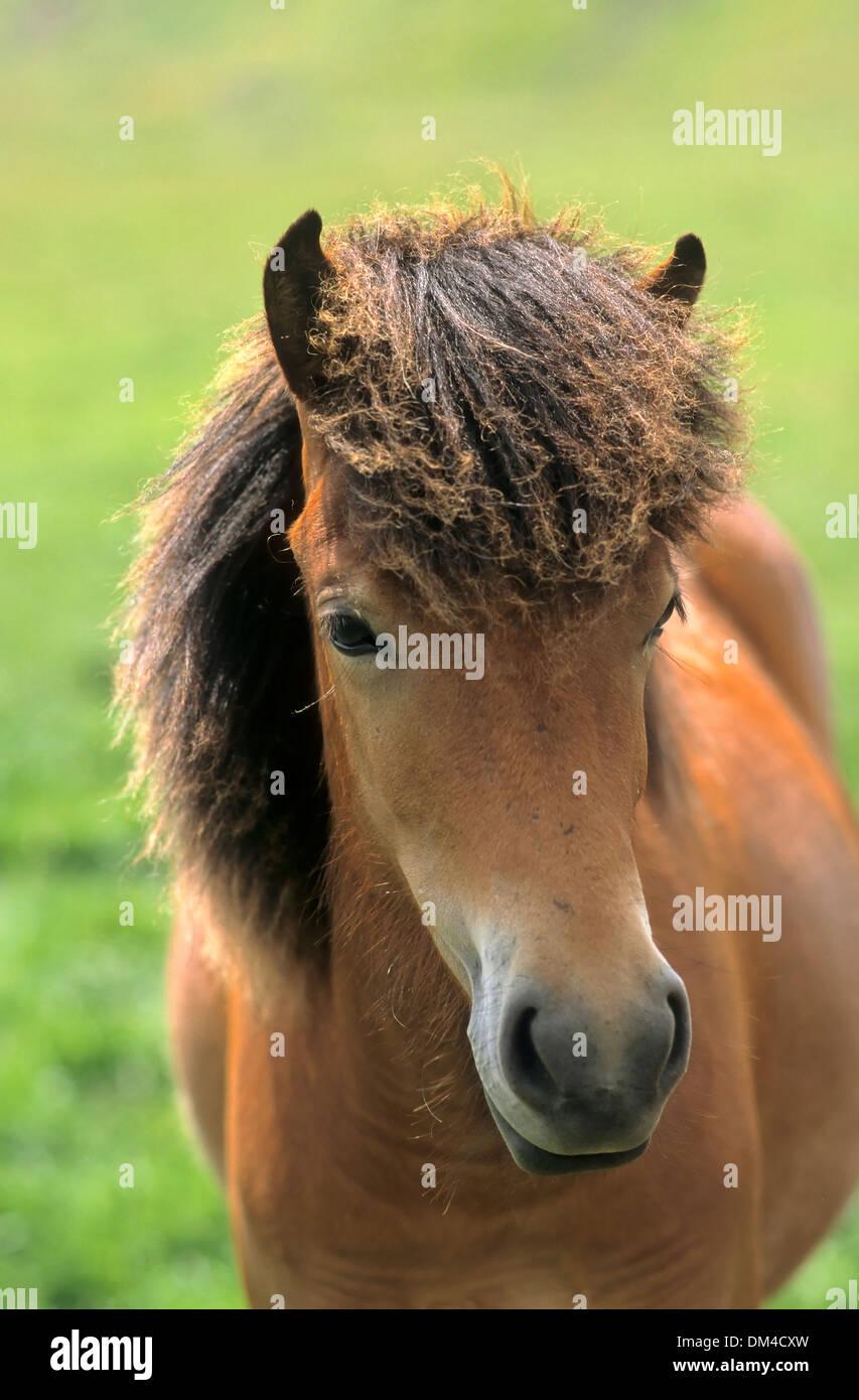 Icelandic horse, breed of horse, Islandpony - Fohlen, - Stock Image
