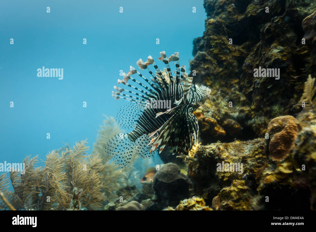 Close-up of venomous lionfish swimming on coral reef in Hol Chan Marine Reserve Belize - Stock Image