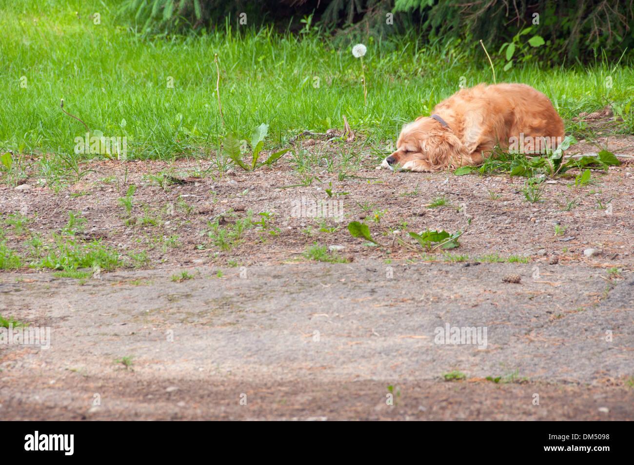 Dog sleeping in a garden - Stock Image