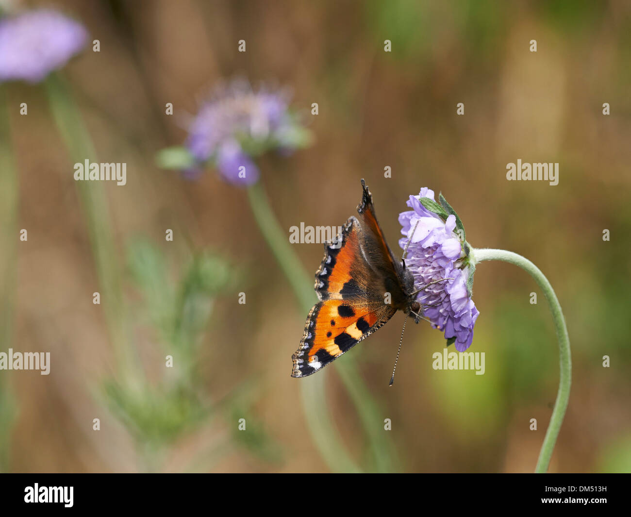 Small Tortoiseshell butterfly on Scabious flower. - Stock Image